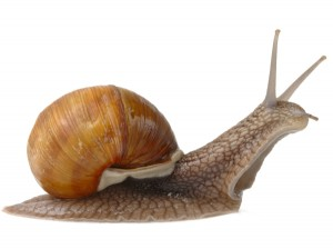 Big brown garden snail, isolated over white